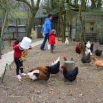 nourrir les poules