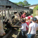 vaches aux cornadis