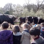 voir les vaches partir au champ
